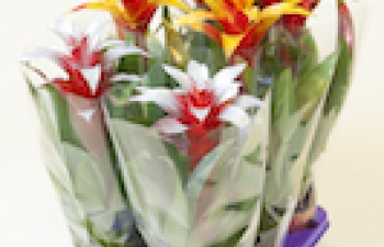 Alles over Bromelia